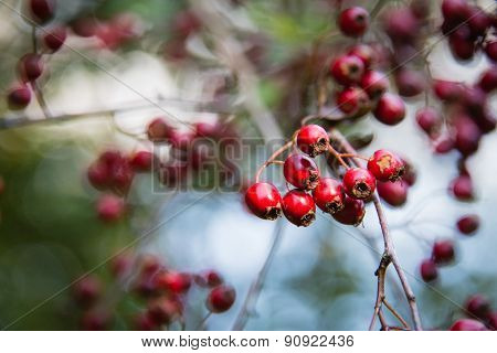 Bright Red Berries On A Hawthorn Hedge