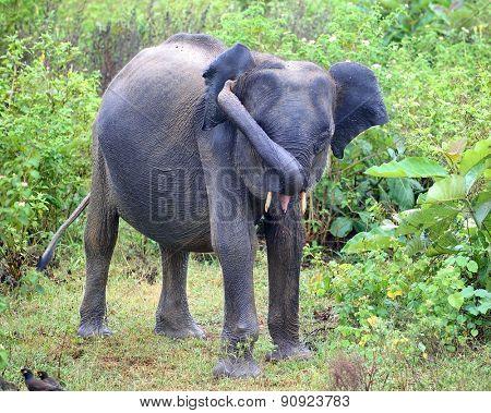young indian elephant in jungle - Sri Lanka