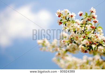 Flowering White Japanese Crabapple Tree with Pink Buds Against Blue Sky with Wispy White Cloud
