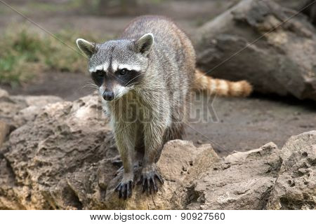 Raccoon sitting and staring intently