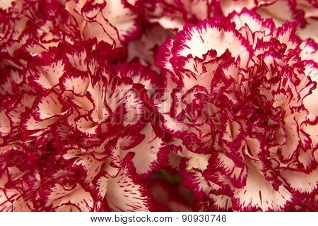 Vareigated Carnation Flowers