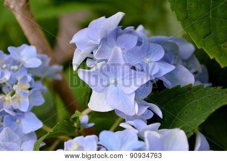 Blooming Hydrangea Bush Closeup