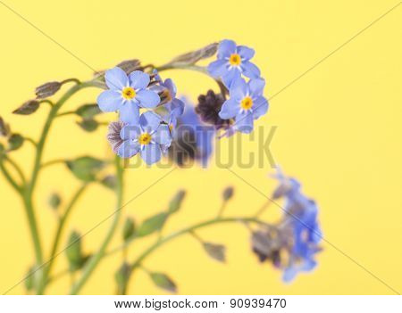 Baby blue Forget-me-not flowers on light yellow background