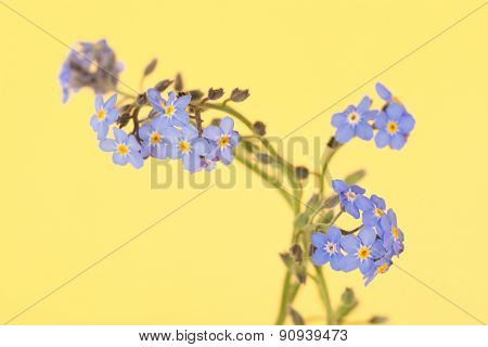 Dainty blue Forget-me-not flowers on contrasting yellow background