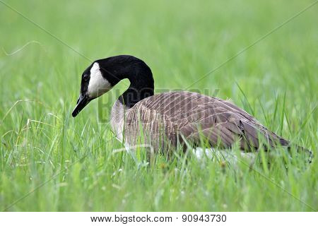 Goose in the Grass