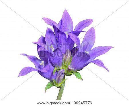Blue Flowers (campanula Cephalotes)