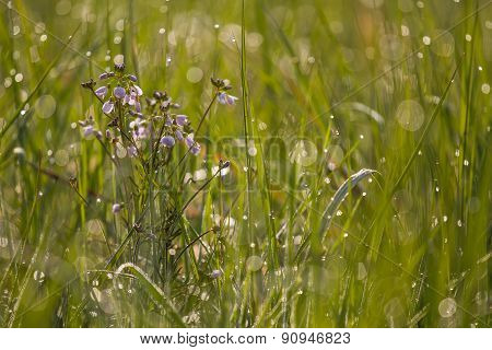 Purple Cardamine, meadowfoam seed flower