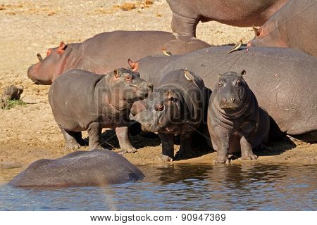 Hippo family (Hippopotamus amphibius) outside the water, South Africa