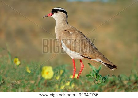 A crowned plover (Vanellus coronatus) in natural habitat, South Africa