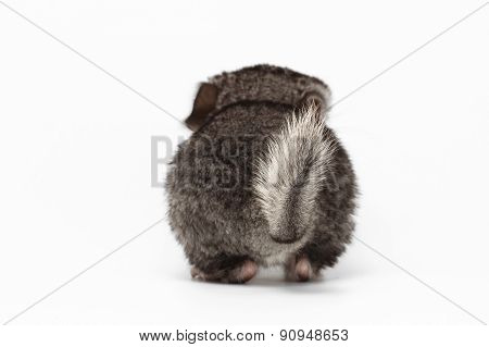 Tail Of Gray Baby Chinchilla On White