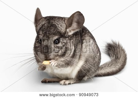 Close-up Chinchilla Eating Peanuts On White