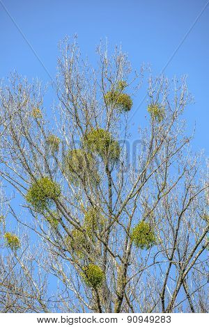 Mistletoe On Tree