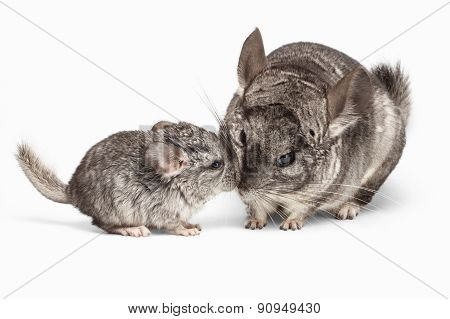 Kissing Of Mama And Baby Chinchilla In Front View On White