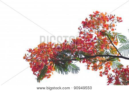 Royal Poinciana isolated on white background