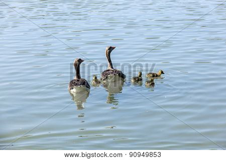 Duck Family On A Sunny Day On The Lake