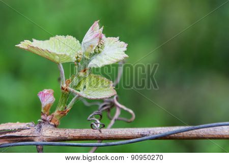 The Inflorescence Of Grapes