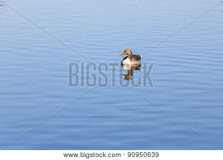 Ducks Enjoy The Lake In The English Garden