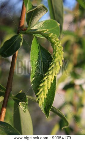 Green willow twig with catkin