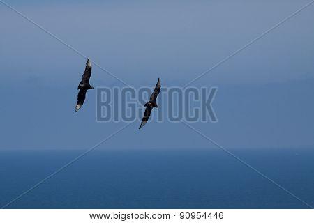 Female frigate birds flying around Machalilla National Park, Ecuador