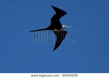 Female frigate bird flying around Machalilla National Park, Ecuador