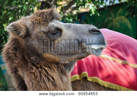 The Head Of The Camel