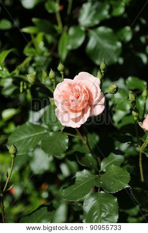 Single Light Pink Rose Just Blossomed In May
