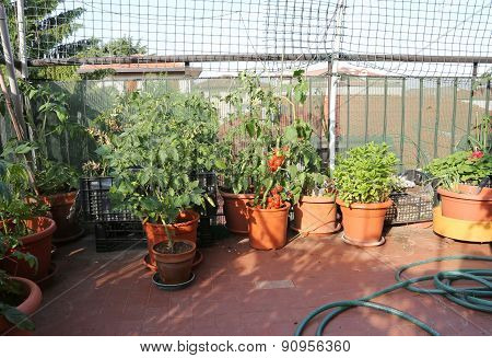 Urban Vegetable Garden With Tomato Plants  In A Terrace Of A House