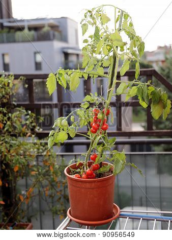 Red Tomato Plant On The Terrace Of A House