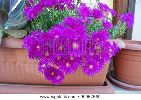 Asters In A Pot
