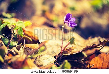 Vintage Photo Of Blooming Liverworts Flowers.
