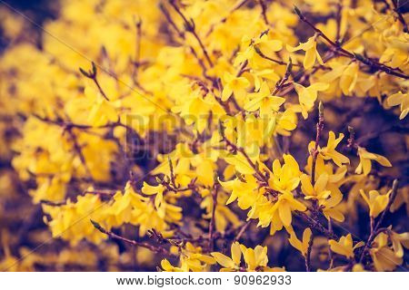 Vintage Photo Of Blooming Forsythia