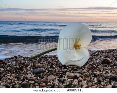 White Calla lily on the sea shore