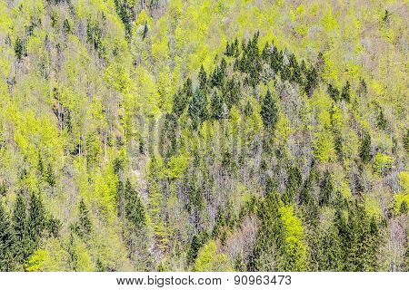 Background Of Fir Trees
