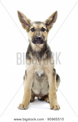 Large Ears Puppy