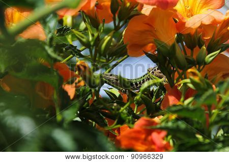 Lizard Between Orange Flowers