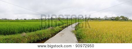 Exotic Rice Terrace In Bali (panorama)