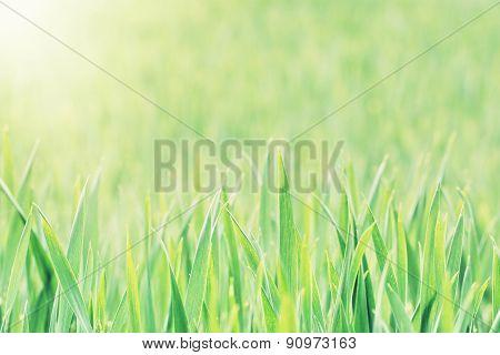 Corn Field In Sun Rays