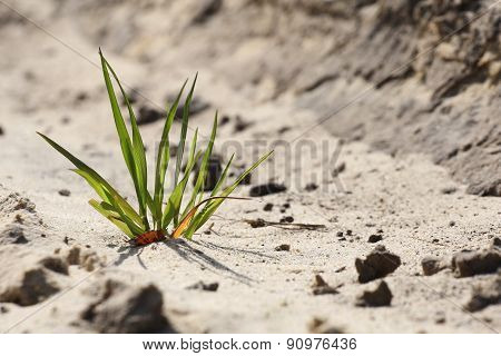 Green Grass Breaks Through The Sand