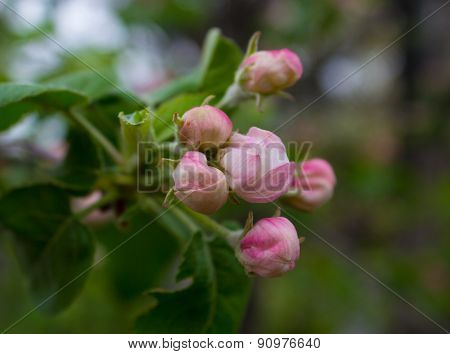 The Buds Of Apple Blossom Close-up