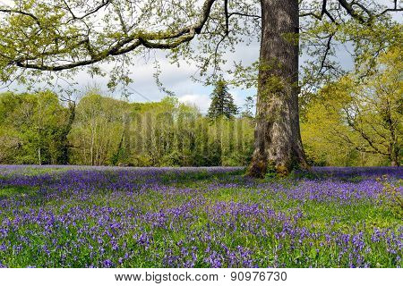 Bluebell Glade