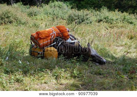 Resting horse.