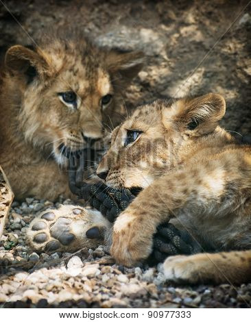Two Beautiful Lion Cubs