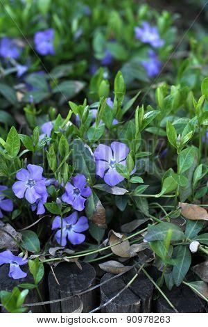 Periwinkle Flowering