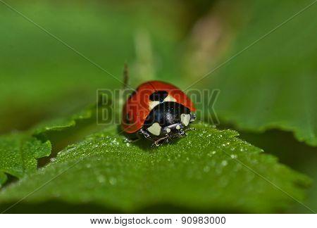 Ladybug Grazing On  Green Leaf.
