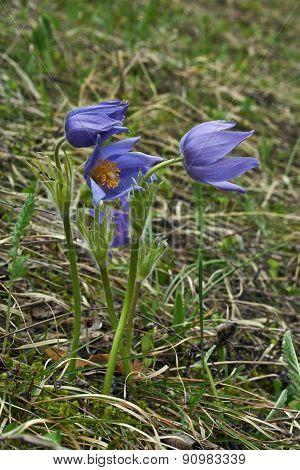 Spring Flowers In The Tundra . Pulsatilla Vulgaris