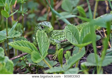 Green Sand Lizard Hunts.
