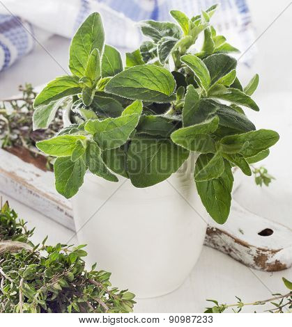 Fresh Herbs. Thyme And Oregano.