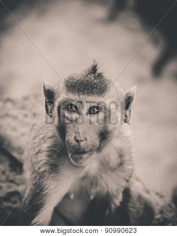monkey in lopburi thailand Feeling suspect with eye contact , vintage