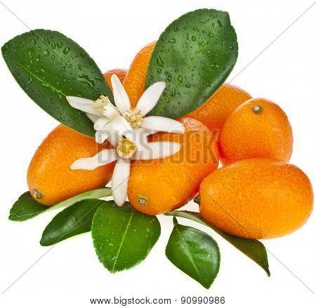 Stack of kumquat citrus fruit flowering close up isolated on white background