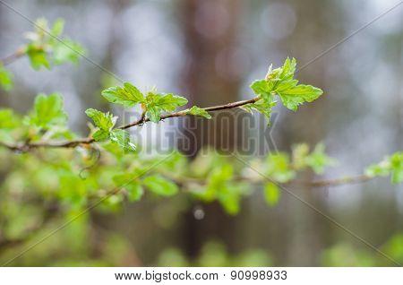 Fresh Twig Of Currant Bush On Springtime